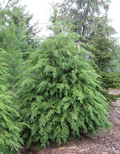 eastern hemlock canadian hemlock coniferous forest
