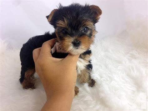 teacup yorkie for sale in pa teacup yorkie puppies for free adoption philadelphia pa breeds picture