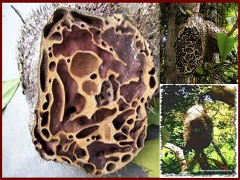 Sarang Semut Papua Bubuk Sarang Semut Dan Mukjizat Penyembuhan Stokherba