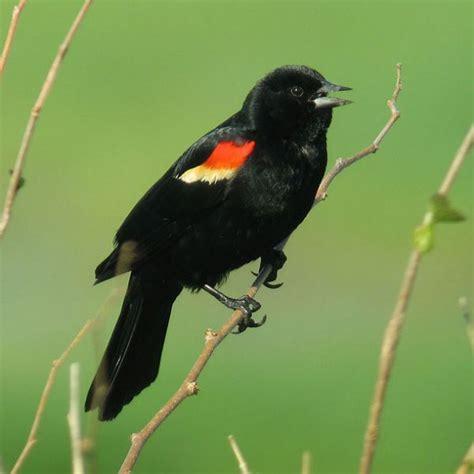 focal species u s celebrate urban birds