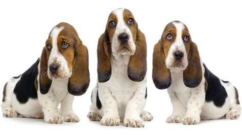 hound puppies the in world basset hound dogs