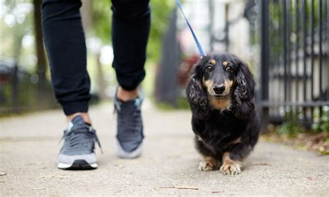 when can puppies walk the top 5 ways australians can enjoy pet exercise petcloud
