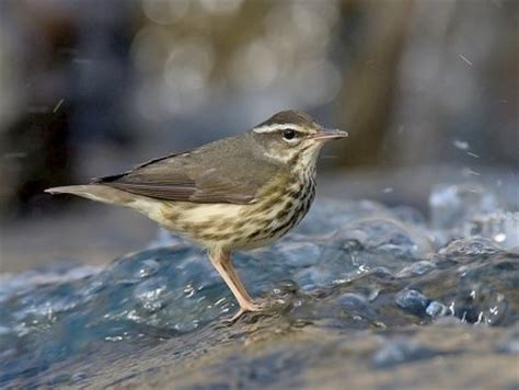 louisiana waterthrush identification all about birds