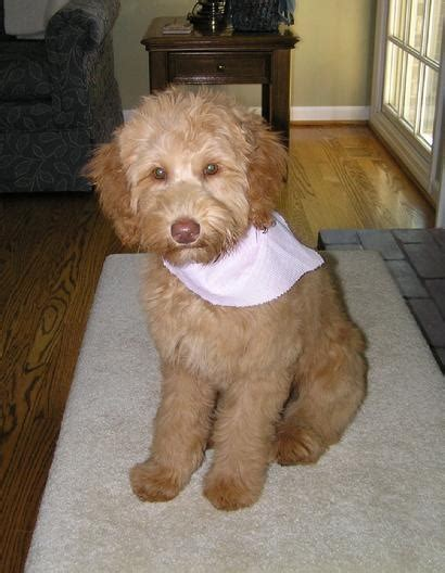 goldendoodle southern indiana 103 best images about goldendoodles on