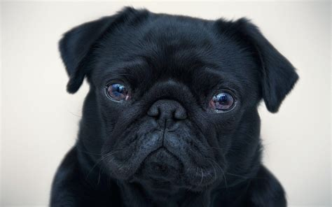 cute black dog windows mode black pug wallpapers wallpaper cave