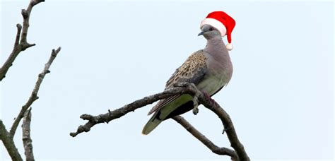second day of christmas brings turtle doves to cemex