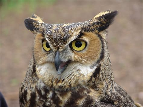 great horned owl call youtube