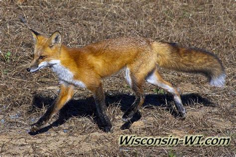 wisconsin wildlife wi facts photos video