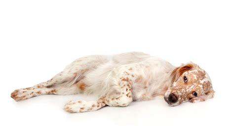 english setter dog red white lomonosov english setter dogs breed information omlet