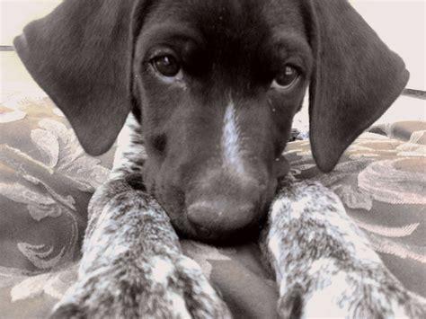gsp puppy gsp puppy pointers