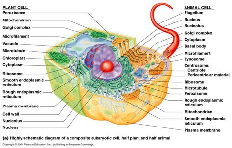 diagram of an eukaryotic cell eukaryotic cell diagram thinglink