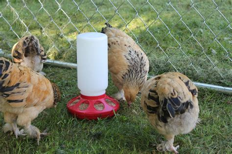 quiet chickens for backyards brahma thread page 141