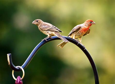 house finch male and female the gallery for gt female yellow finches