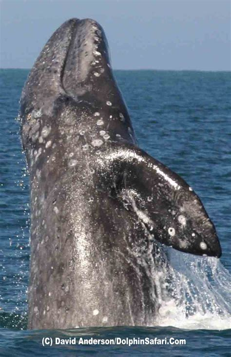 17 best ideas about gray whale on