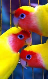 lovebird colors lovebirds images animal