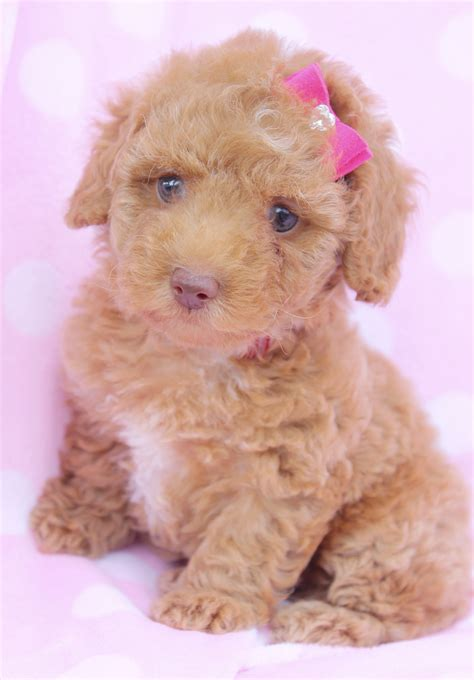 mini poodle puppies dachshund poodle mix puppies picture