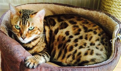 Bengal Cat, Bring The Jungle Atmosphere To Your Home