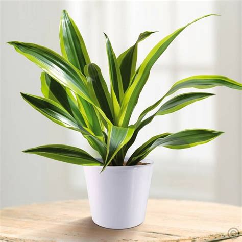 dracaena fragrans 34 poisonous houseplants for dogs plants toxic to dogs