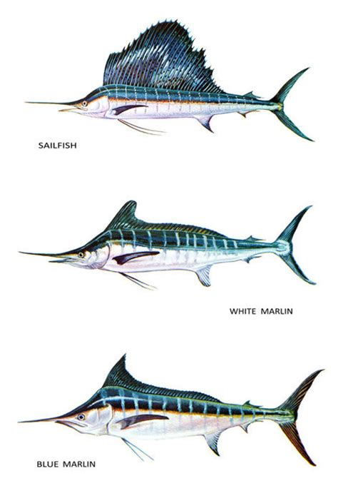 fish classification poster white amp blue marlin sailfish