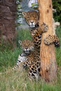 All About Jaguars Facts Jaguar Facts Animal Facts Encyclopedia