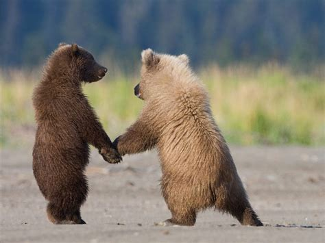 grizzly bear cubs playing grizzle bear cubs photo animals wallpaper national