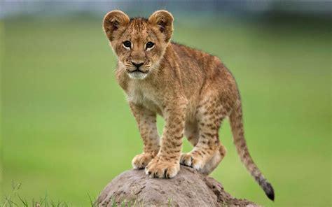 cute young african lion   rock desktop wallpaper