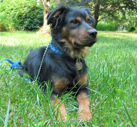 rottweiler australian shepherd mix puppies gallery for gt australian shepherd rottweiler mix information