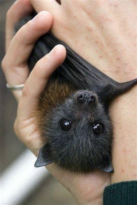 fruit bat pet pet bat awwww cuteness