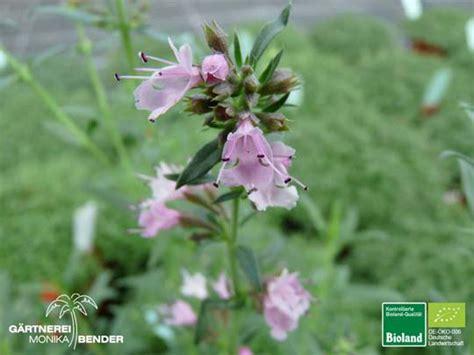 Ysop Pflege by Hyssopus Ysop Pflanzen In Bioland Qualit 228 T