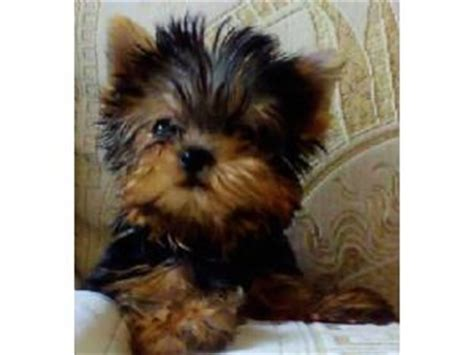 yorkies for sale in pittsburgh bulldog breeders in pittsburgh breeds picture