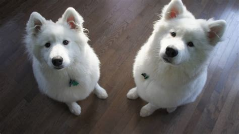 doge puppy two samoyed dogs photo and wallpaper beautiful two samoyed dogs pictures