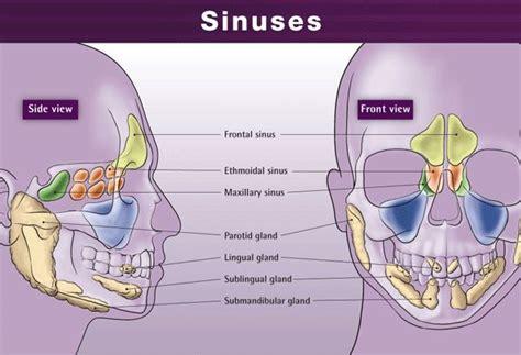 sinus diagram back of sinus cavity diagram acupuncture healthcare sinuses