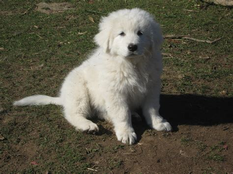 maremma puppy windance farm livestock guardian for you and your working