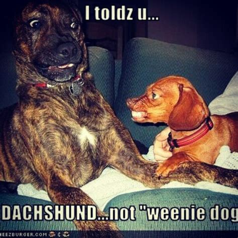 Wiener Dog Meme - dachshund memes liz rio