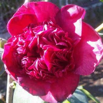 Tanaman Hias Camelia Lolypop tanaman camellia japonica bibitbunga