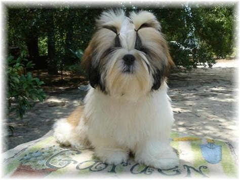 shih tzu puppies white and gold pics for gt shih tzu puppies white and gold