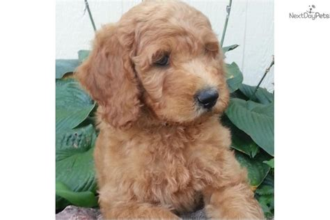 goldendoodle puppy age goldendoodle puppy for sale near rock arkansas