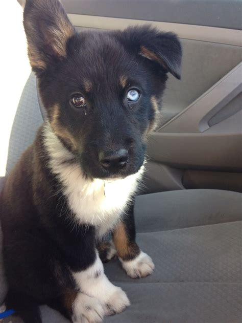 australian husky puppy 53 best images about australian husky on australian shepherd mix cattle