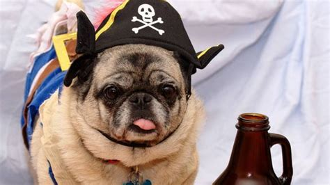 pug costume for humans 50 purrfect costume ideas for your pet dailyscene