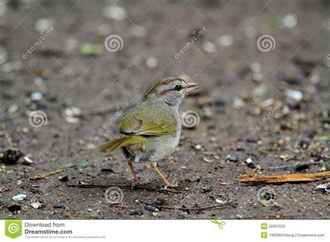 alimentazione passero passero verde oliva immagine stock immagine di sparrow