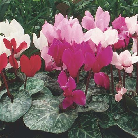 piante invernali con fiori piante invernali piante da giardino piante adatte all