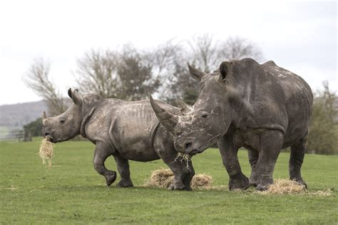 best safari park rhino week at west midland safari park discover animals