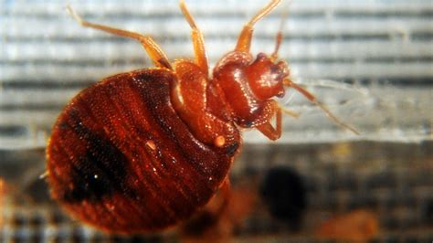 color of bed bugs bed bugs drawn to certain colors study says cbs news