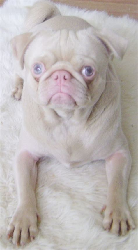 blue pug can i be your blue eyed pug animals pets