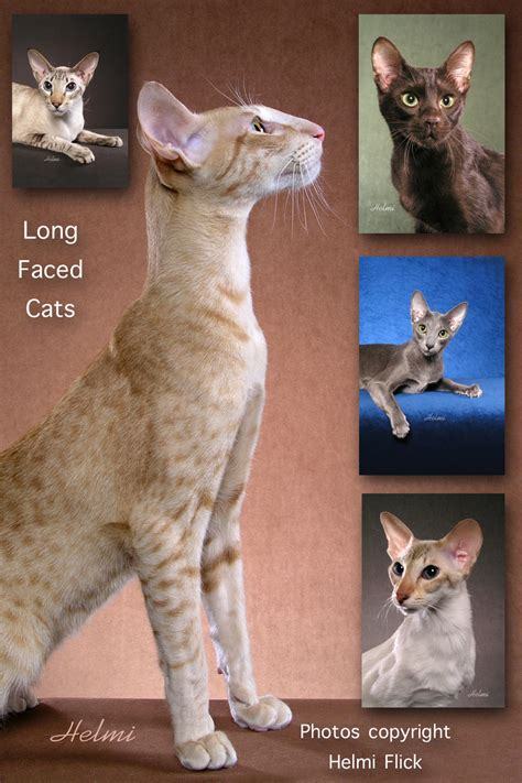 Long Faced Cats   PoC