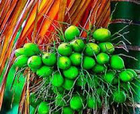 jual buah pinang buah pinang herbal