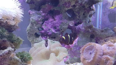 Karpet Nmax Nemo 6 year clown fish nemo defending carpet anemone