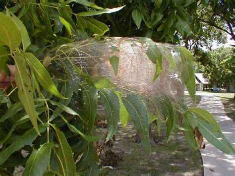 top 28 webworms treatment tree pests are turf pests