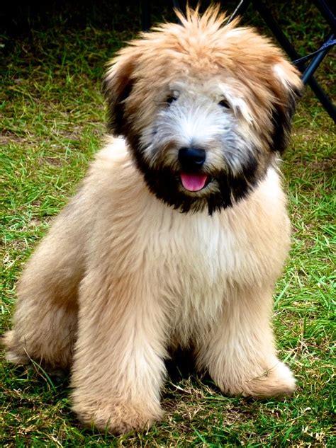 wheaton puppies best 25 wheaten terrier ideas on wheaton puppy wheaton terrier soft
