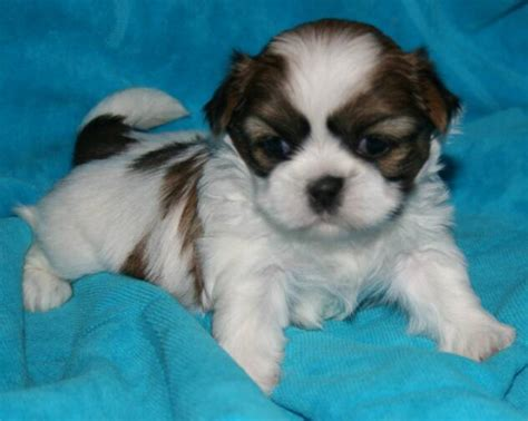 shih tzu puppies brown and white brown and white shih tzu puppies www pixshark images galleries with a bite